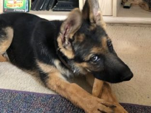 AKC German Shepherd Male Puppy 18 weeks old